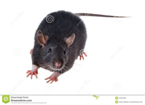 Small Black Small Black Rat Royalty Free Stock Photos Image 15612428