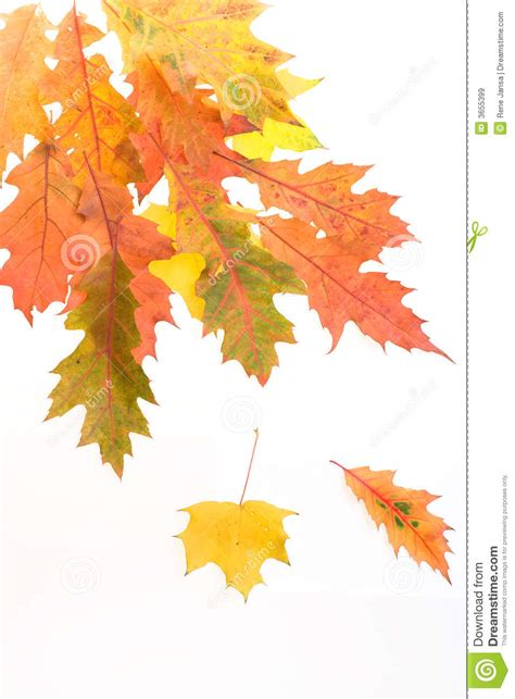 Fall Leaves White Background Royalty Free Stock Images Image 3655399 Fall Leaves On White Background