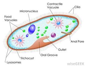what is phagocytosis with pictures