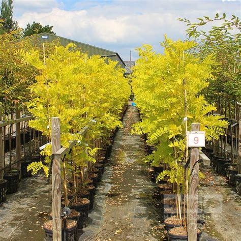 mail order tree robinia frisia false acacia tree mail order trees
