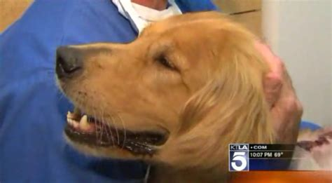 golden retriever rescue santa barbara golden retriever remarkable recovery after being injured in acid attack the