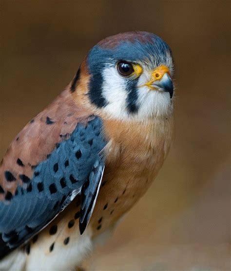 bird colors 205 best images about birds of prey hawks falcons owls