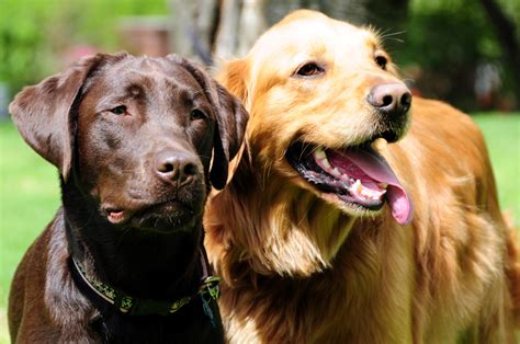 golden retriever and chocolate lab a chocolate lab and golden retriever 187 sit pretty photos sit pretty photos