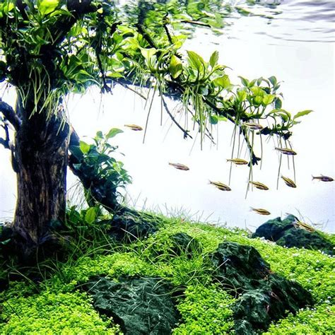 aquascape anubias anubias treescape faao aquaflora aquascaping aquascaping