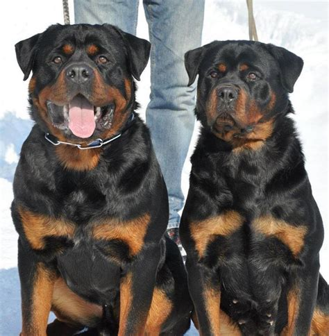 rottweiler puppies buffalo ny she look like dnt get to to my 1 the