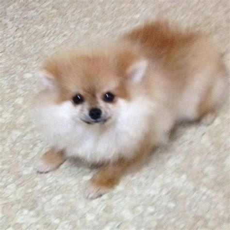 boo puppies for sale ms felecia boo pomeranian puppies for sale