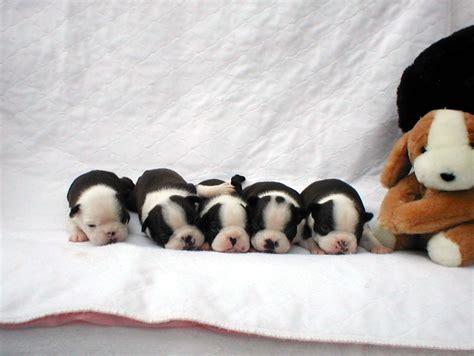 boston terrier puppies nc boston terriers of carolina