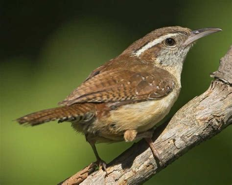 carolina wren brown pinterest