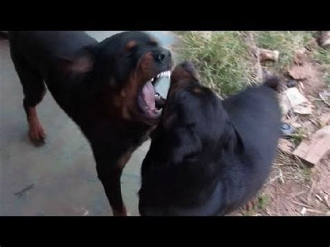 rottweiler fights my best fights are rottweilers fighting rottweilers