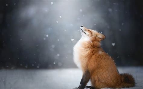desktop wallpaper happiness  red fox furry animal
