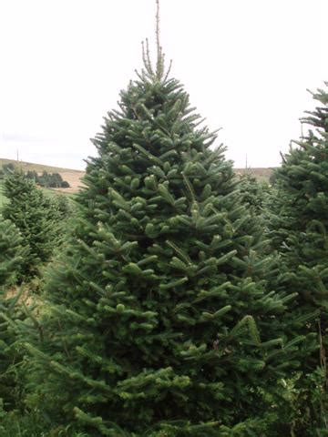 why buy a real tree scottish christmas trees