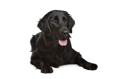 libro flatcoated retrievers the world flat coated retriever dogs breed information omlet