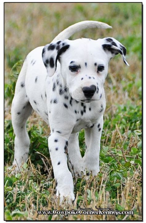 dalmatian puppies near me top 25 best dalmatian puppies for sale ideas on dalmatians for sale