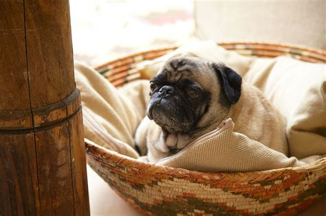 Pug Decorations - pug photos design ideas remodel and decor lonny
