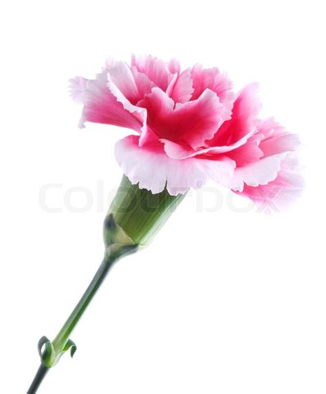 Home Decoration Flowers by Beautiful Pink Carnation Isolated On White Background