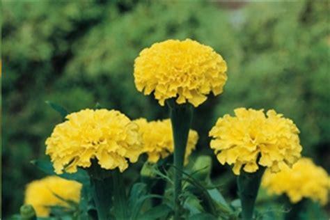 grow marigold flowering plants gardening