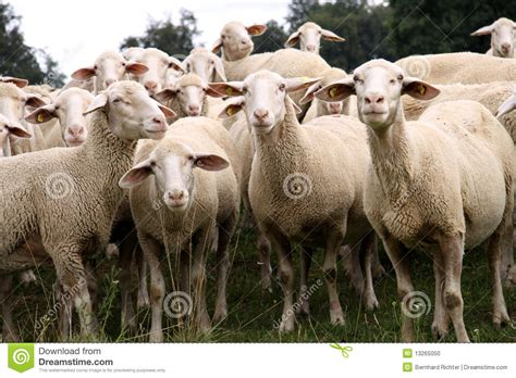 how to a to herd sheep herd of sheep stock photo image 13265050