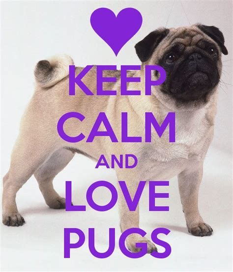 where can i buy a pug 1000 images about pugs on and sibling
