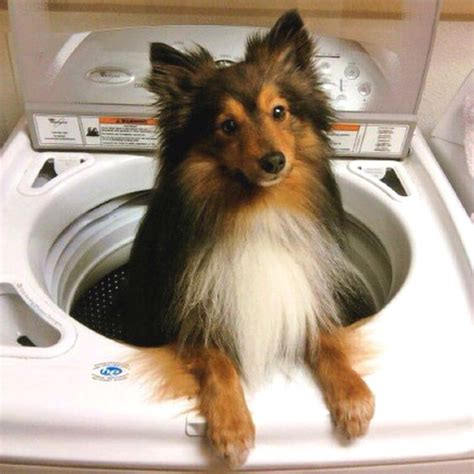 doberman pomeranian mix this is my future poshie pomeranian sheltie mix totally my two favorite dogs