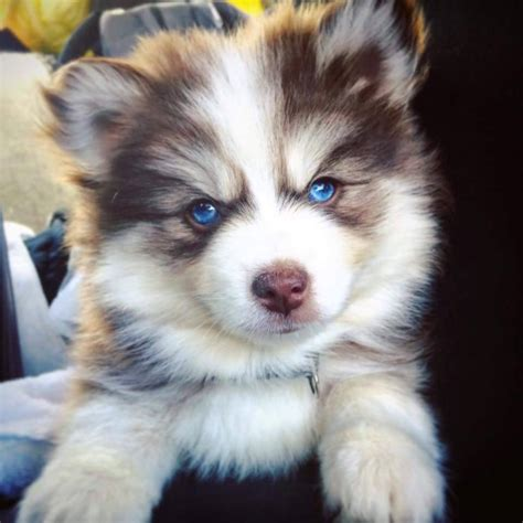 what is a pomsky puppy pomsky price how much are pomsky puppies pomeranian husky