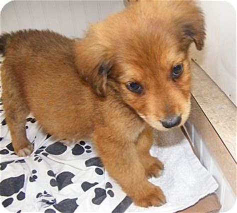 golden retriever puppies nh reese adopted puppy rochester nh golden retriever labrador retriever mix