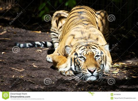 Couching Tiger by Crouching Tiger Royalty Free Stock Image Image 36168536