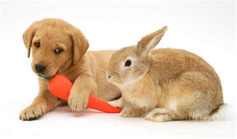 puppies and bunnies labrador retriever pup photograph rabbit and puppy by burton puppies bunnies