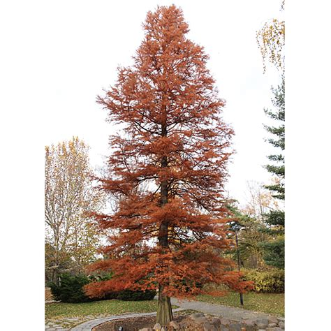 Decorating A Home Library Bare Root Bald Cypress Taxodium Distichum