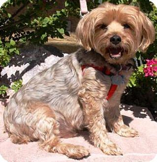 yorkie silky terrier mix gilbert az yorkie terrier silky terrier mix meet elvis a for adoption