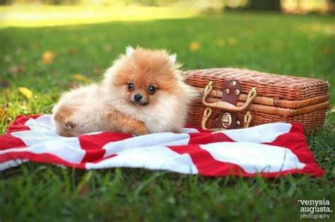 what do pomeranians eat 38 best images about poms spitz on and
