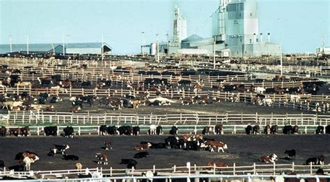 kansas feedlot cattle numbers lowest