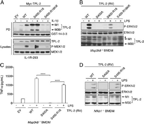 germline encoded pattern recognition receptors reconstitution of tpl 2 signaling activity with 14 3 3