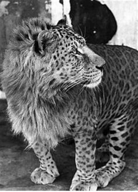 A Jaglion; Father is a jaguar, mother is a lion. GORGEOUS