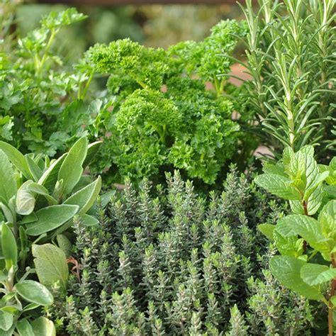 where to buy herb plants buy herb collection 6 mixed herbs herb collection 6