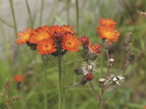 hawkweed orange invasive species council  british