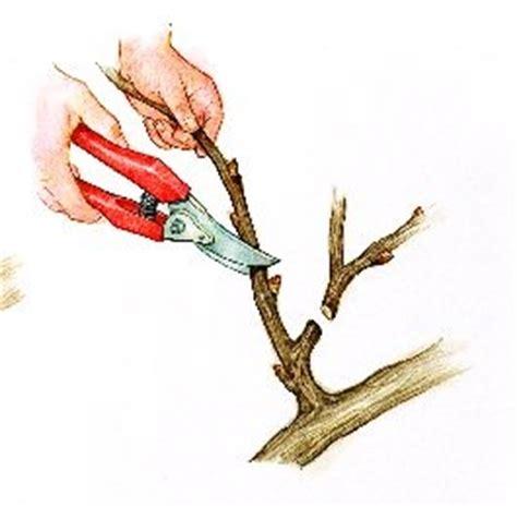 comment tailler une treille de raisin taille de la vigne