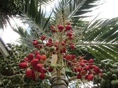100 seeds christmas palm tree adonidia merrilli tropical