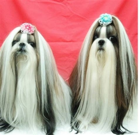 shih tzu hair accessories these shih tzu puppies probably better hair than you real stories