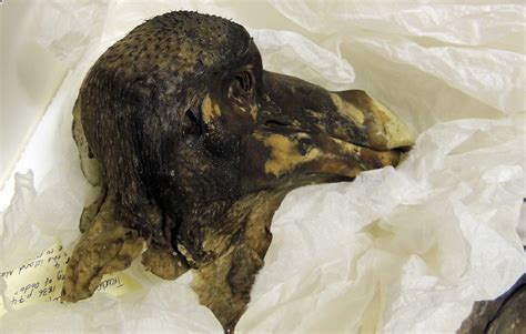 the dodo new insights into an bird heritagedaily heritage archaeology news