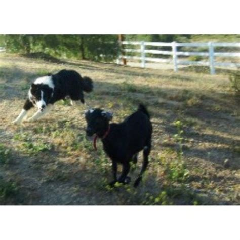border collie puppies southern california windy farm border collie breeder in fallbrook california listing id 15011