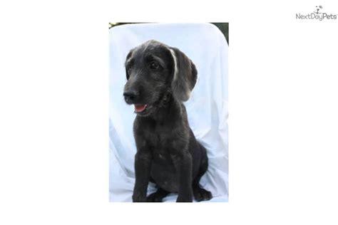 weimardoodle puppies for sale weimardoodle puppy for sale near lancaster pennsylvania 6dfe2f3b 7c61