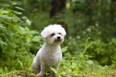 7 best hypoallergenic dogs choosing the right for
