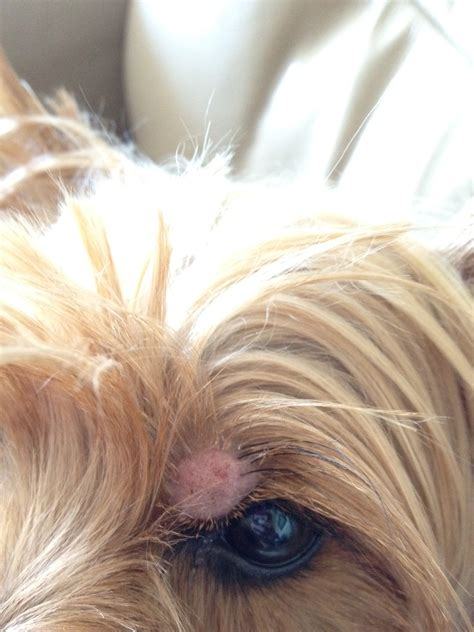 yorkie skin bumps image gallery lump above eye