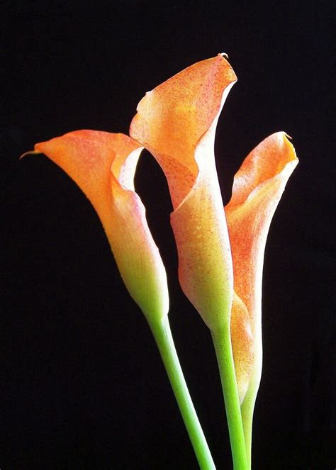 top 28 where do calla lilies come from calla lily red my fav garden flower waiting