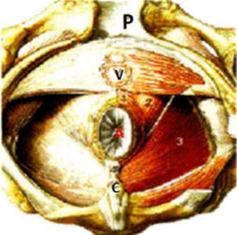 sfintere anale interno anatomia della regione anale