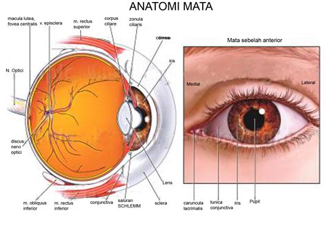 diagram mata anatomi mata the eye si gh t