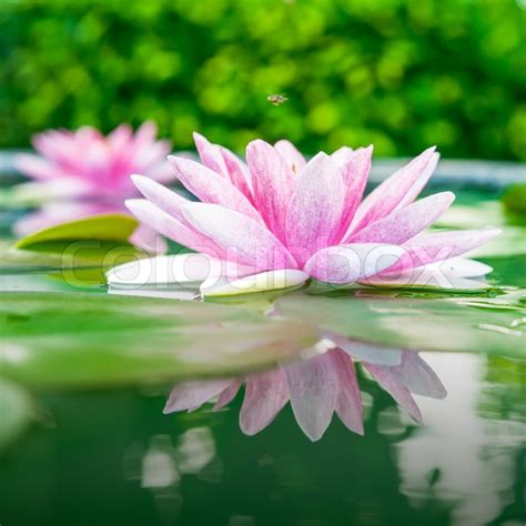 lotus with water beautiful pink lotus water plant with reflection in a