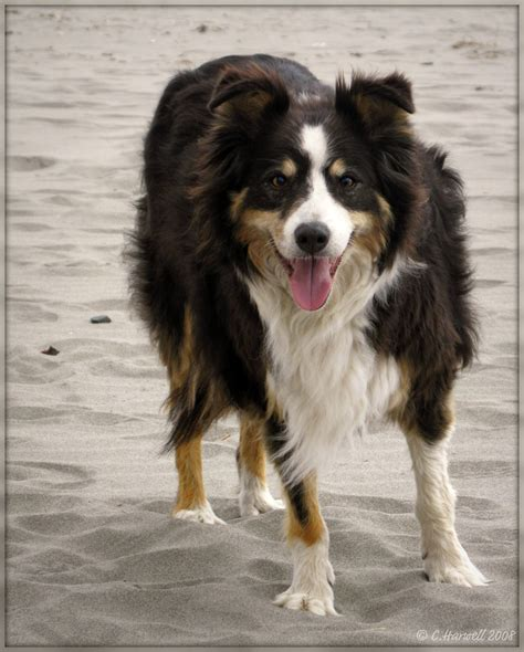 black white brown get more black brown white border collie photos