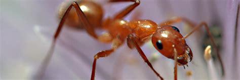comment se d饕arrasser des fourmis dans une cuisine comment se dbarrasser des moucherons dans une maison