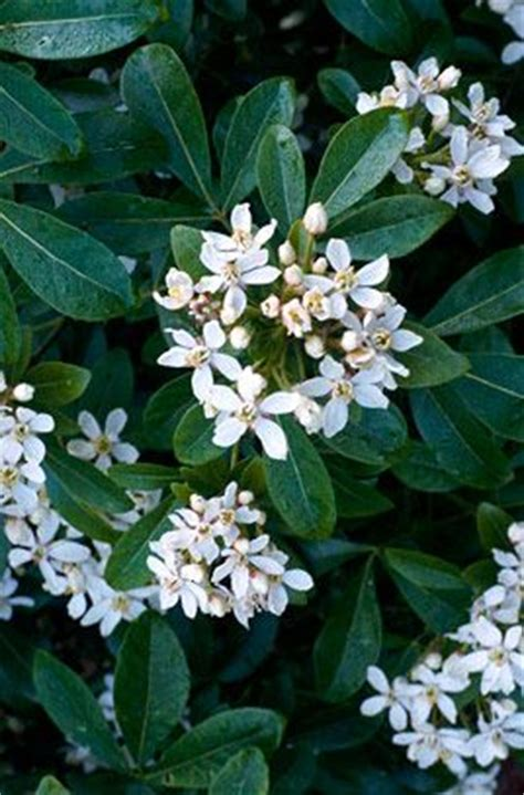 evergreen shrubs with white flowers best 25 evergreen shrubs ideas on